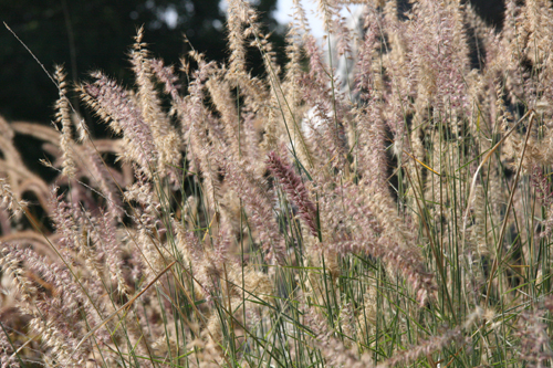 Pennisetum  (commonly known as Fountain grass) is a stunning native ornamental grass that does amazing things in the sun, with large bottlebrush blooms and comes in a variety of heights and bloom colors. View Product Website
