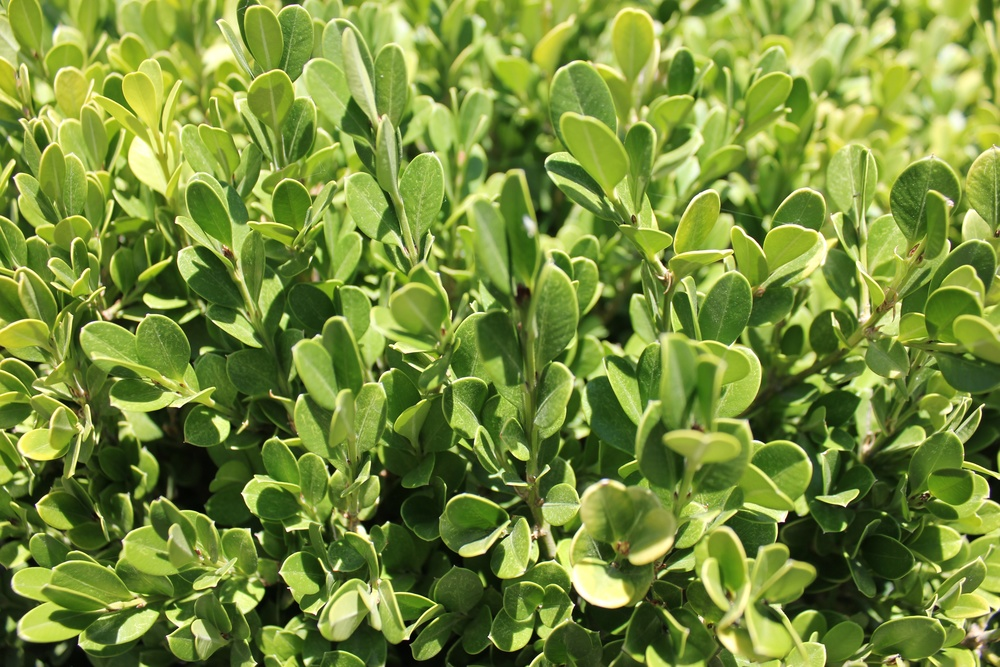 Choose plants wisely:  if maintenance is an issue consider a tough, low -maintenance plant. I chose boxwood here because it stays a vibrant green all year round, and can be trimmed to maintain a clean form, and is a a hardy plant.