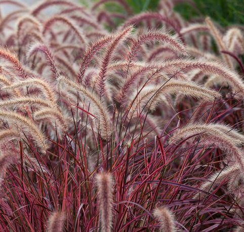 Purple Fountain Grass/Pennisetum Setacean 'Rubrum' is a fantastic drought tolerant grass that is a purplish-maroon color and has a wild, yet graceful look. It looks great planted en masse along a perimeter on a terrace or in drifts in the landscape.