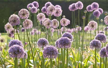 Alliums: annual bulbs that produce globe -like annuals that come up in early summer and are absolutely gorgeous. On sale now at American Meadows