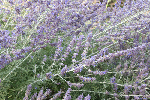 Russian Sage/Perovskia: a dusty, spikey perennial that offers fantastic color late in the season through early Fall. Loves full sun, and dry soil and look beautiful with Echinacea, Yarrow, and Miscanthus among many others...