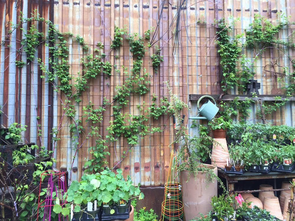 I contacted my talented, knowledgable, trusted garden guru and friend Julia Miller of Fourgardens, who quickly identified the plants and headed over to Gowanus Nursery in Brooklyn and had a chat with the owner, Michelle Palladino. Her Nursery is beyond incredible, and Michelle's extensive horticultural knowledge and aesthetic eye is a rare combination.
