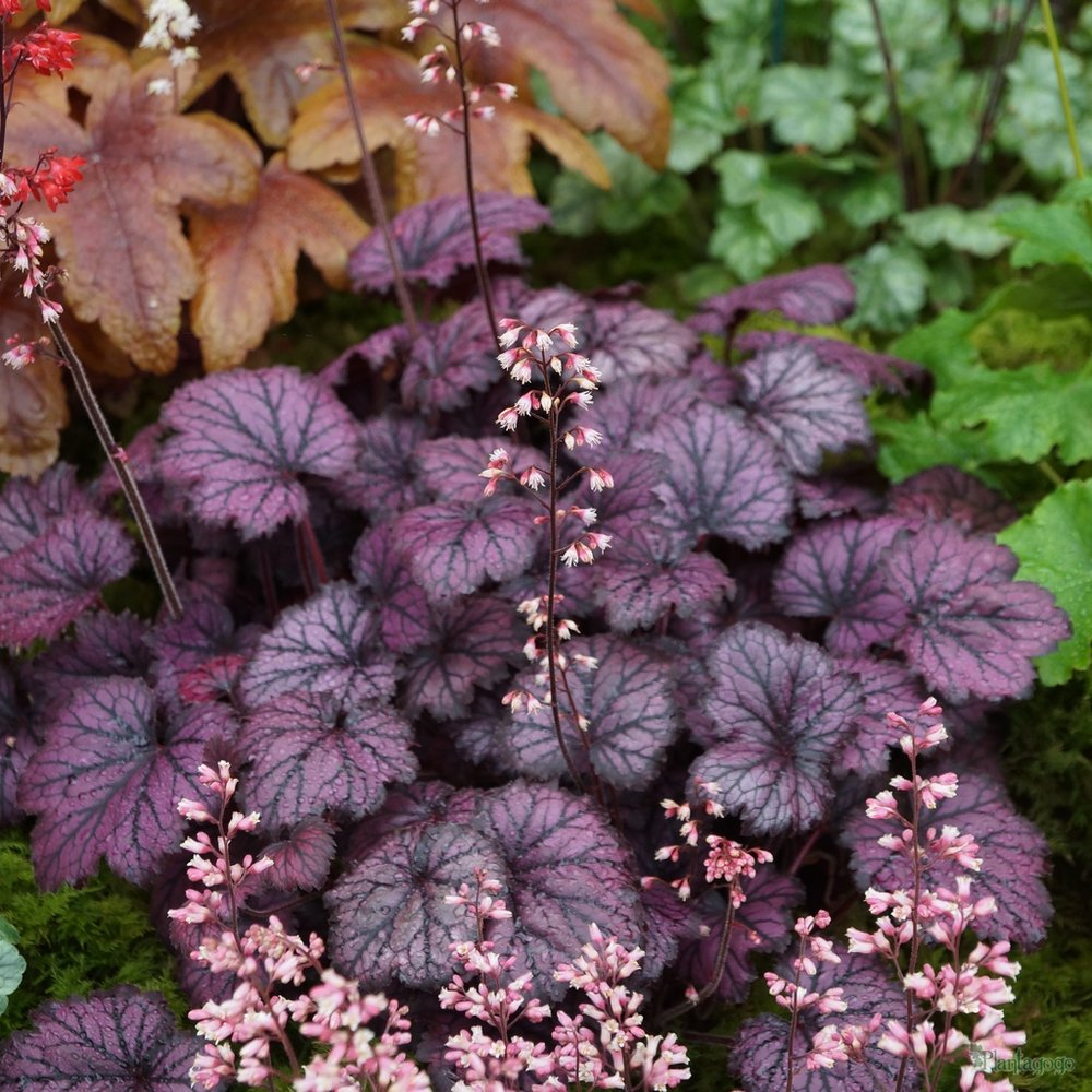 Heuchera is an incredibly adaptable perennial and you can find ones suited for sun or shade. Green and lighter ones do well in shade, and the darker hues better in sun.