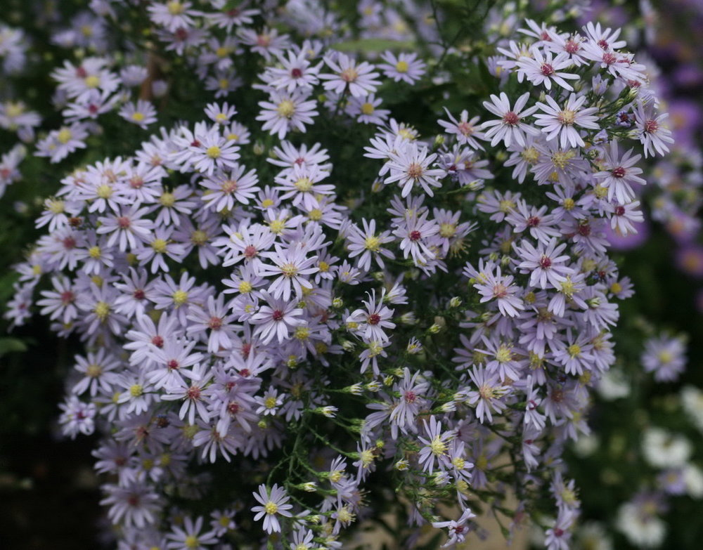 Blue Wood Aster is a perennial that is is practically indestructible, and Fall-flowering in September-October months. It likes full sun but will tolerate shade, is drought tolerant and lovely in a window box.