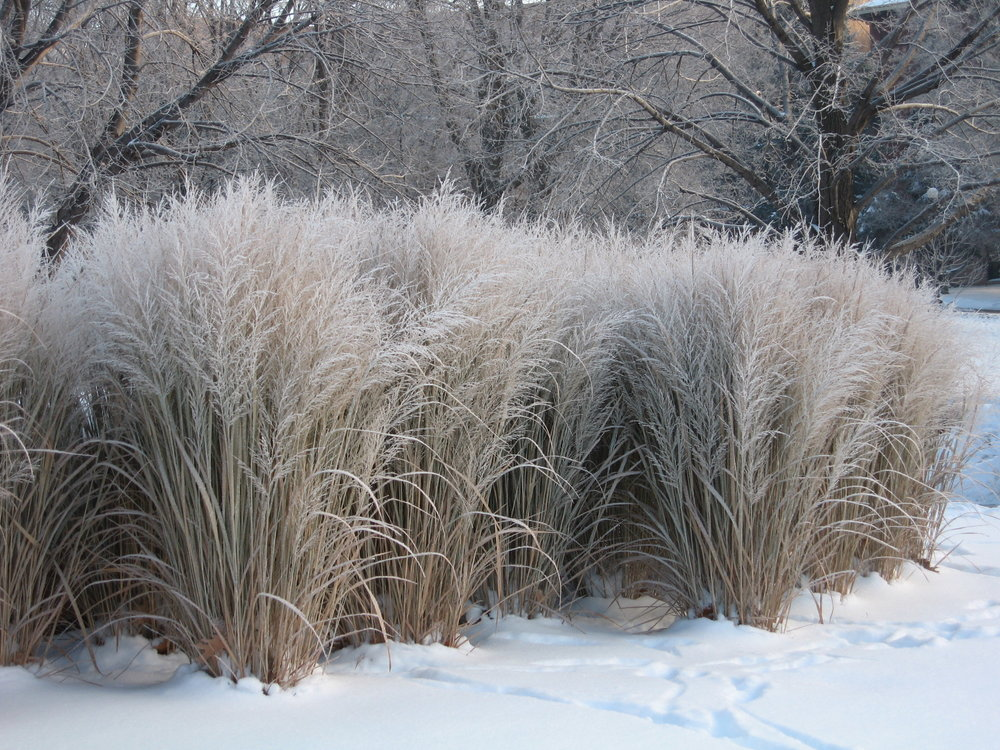 Panicum Virgatum 'Northwind' is a switchgrass that has a very elegant, natural look and stays  upright all winter. Totally undemanding grass, and so beautiful. View Product Website
