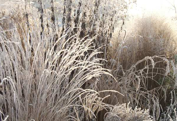 Grasses like Calamagrostis, Deschampsia, and Pennisetum also hold their structure in the winter, and turn a lovely bronze. They also look beautiful with early morning frost or a dusting of snow. View Product Website