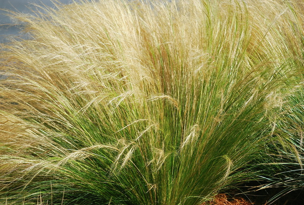 Nasella, or Mexican feather grass, is a gorgeous perennial grass that is hard not to like for a few reasons: it is low maintenance, drought tolerant, has a great all year round look,  and is particularly beautiful in a breeze.  View Product website