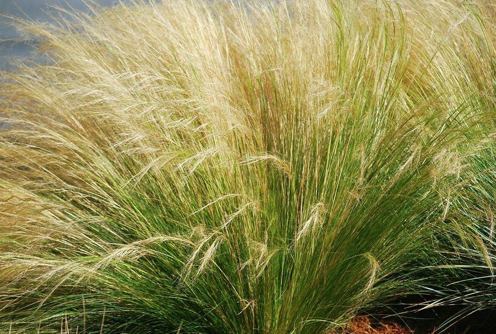 MExican Feather Grass/nasella