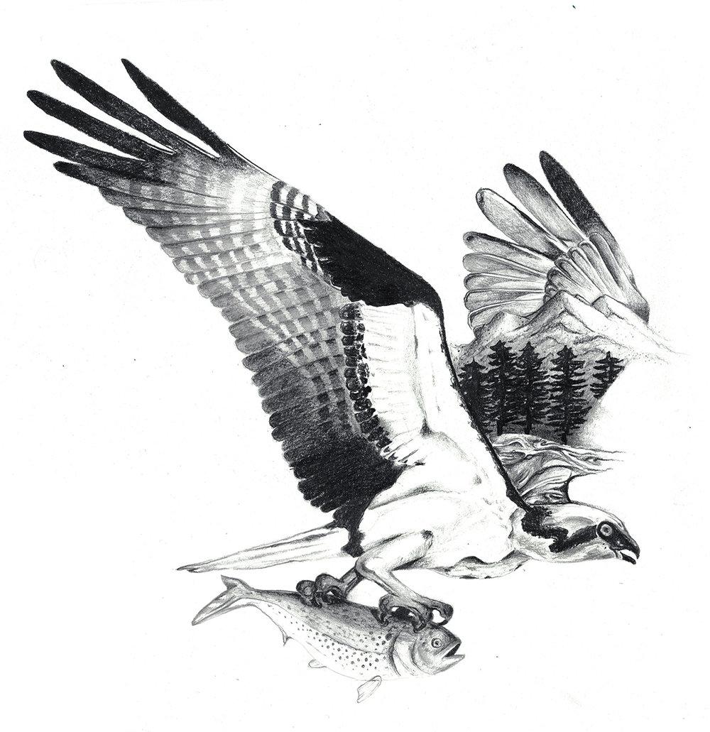 Osprey_2.web.jpg