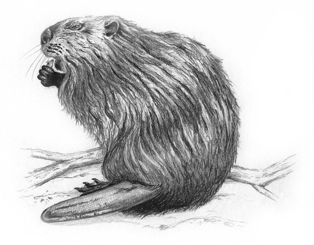 Beaver by LK Weiss