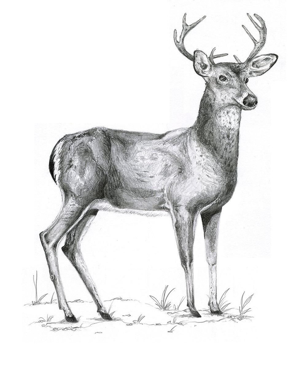 Deer by LK Weiss
