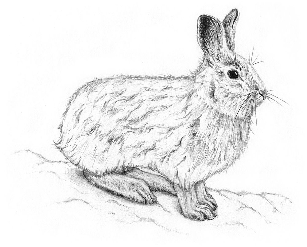 Snowshoe hare by LK Weiss