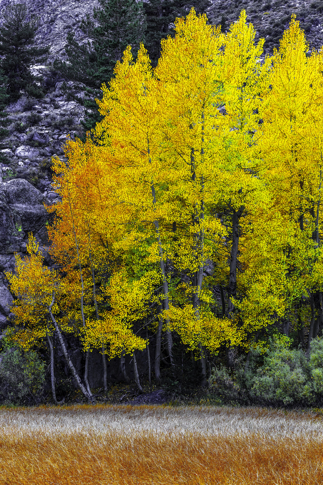 A stand of Quaking Aspens adorned in peak fall color rests beneath the granite walls of California's Eastern Sierra Nevada, in this view looking across a mountain marsh.