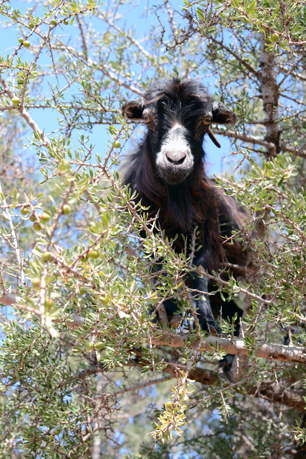 Goats_in_Trees1.jpg