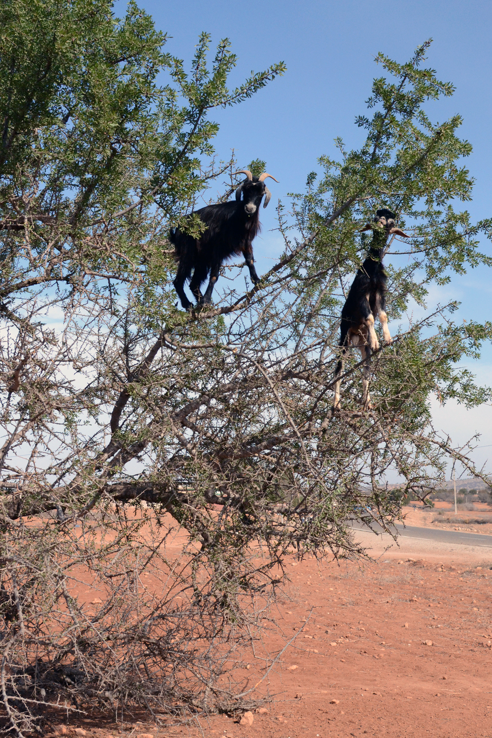 Goats_in_Trees4.jpg