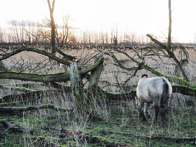Sharing your sunrise with wild horses. ✨ Last winter in a Dutch national park. Almost like this morning in London 😜🌂🌧