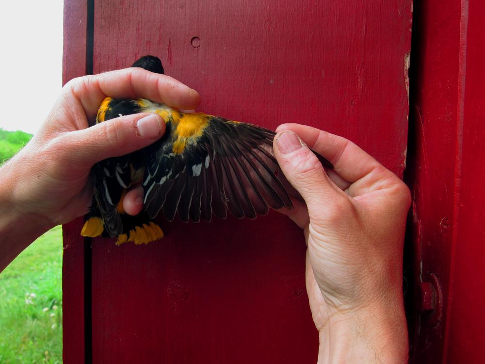 Oriole Wing