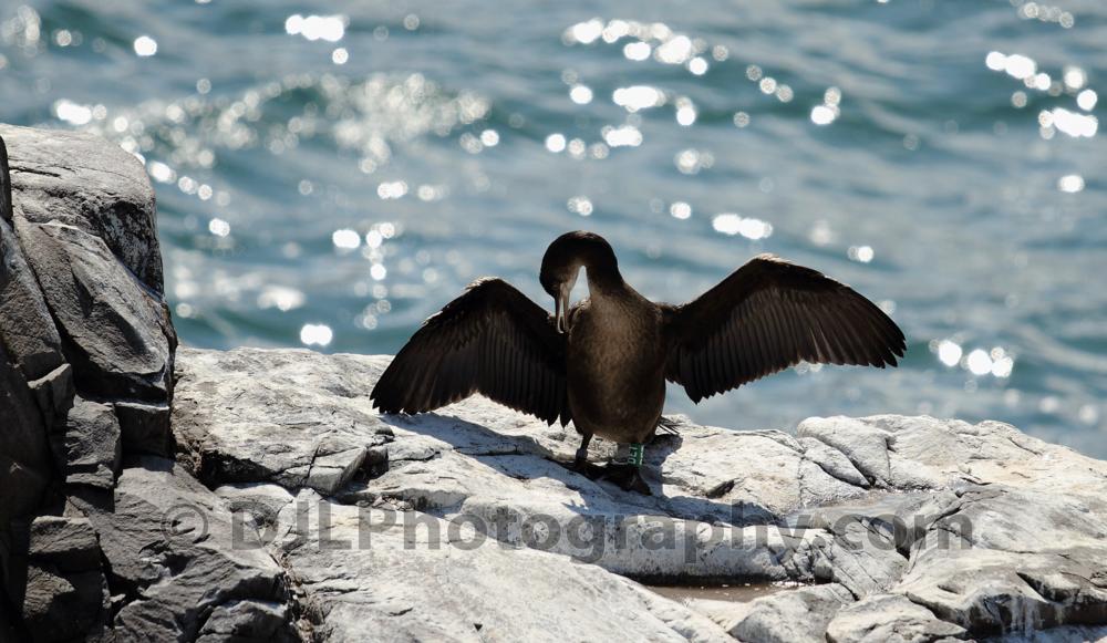 Cormorant - Farne Islands