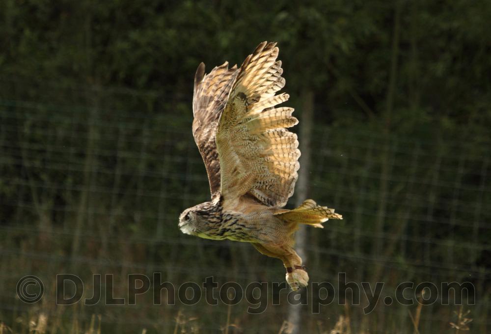 Tawny Owl - KBOPC