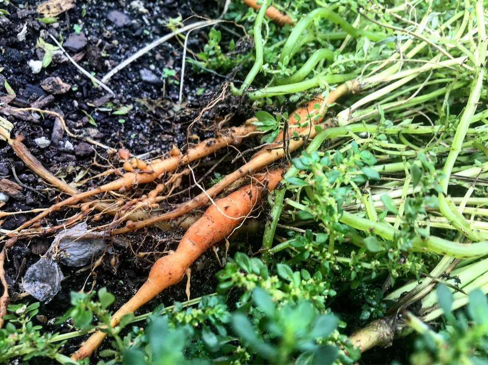 Harpke Family Farms carrots