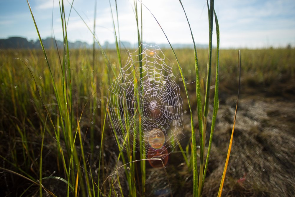 Spiders on the marsh!_.JPG