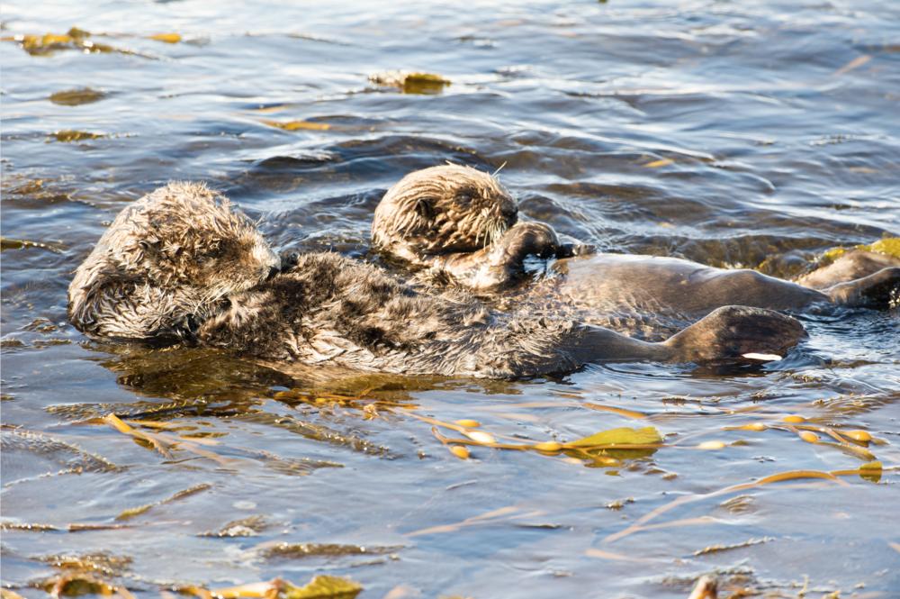 Ocean Magic Production Sea Otter.png
