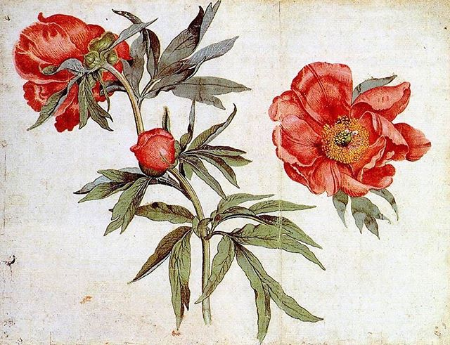 Martin Schongauer c. 1472 Study of Peonies #IfItsMagic