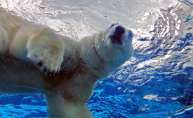 Polar Bear from Zoo Revolution, Dream Street Pictures