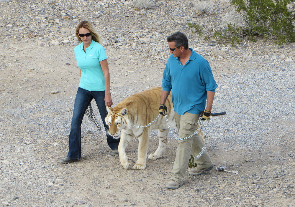 Scott Shoemaker and Zuzana Kukol walking their Golden Tiger %22Princess%22, Nevada.jpg