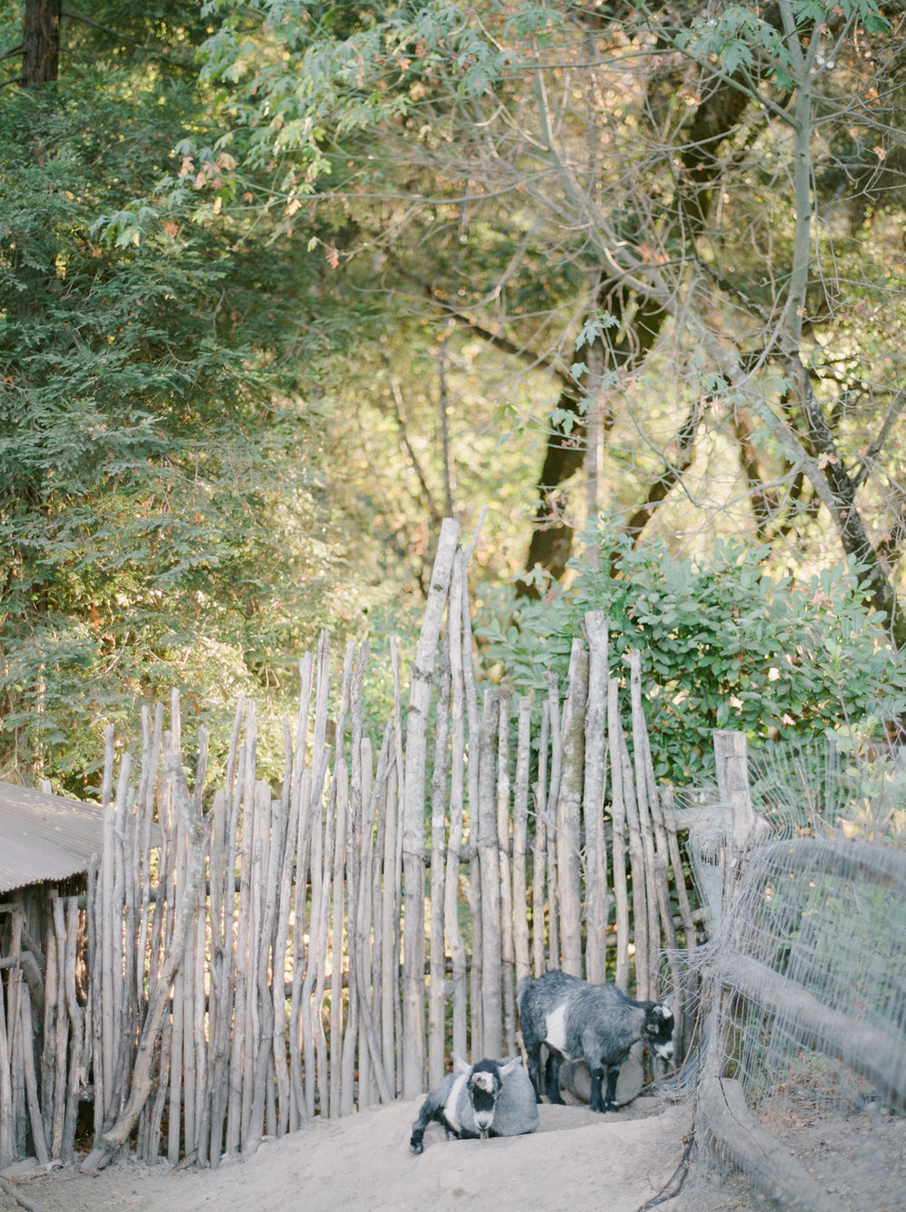 Napa Valley Engagement Session - Fine Art Photographer- barn animal