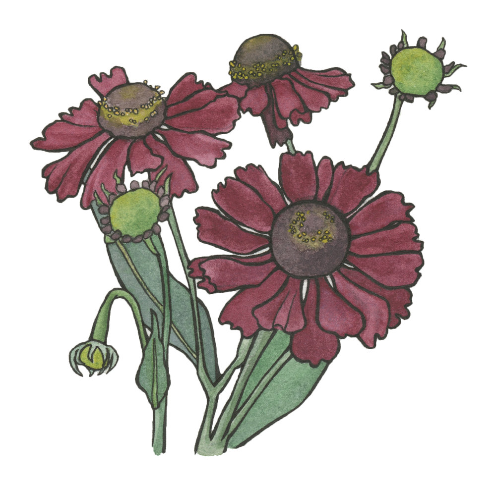 Helenium , watercolor and ink.