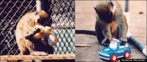 Monkey Toy Preferences