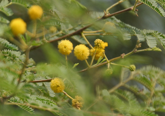 Babool_(Acacia_nilotica)_flowers