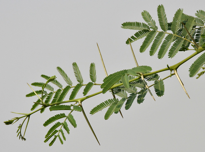 Babool_(Acacia_nilotica)_leaves_&_spines_at_Hodal_W_IMG_1251.jpg