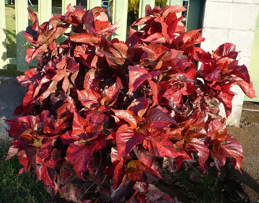 Acalypha Wilkesiana The Green Campus Initiative