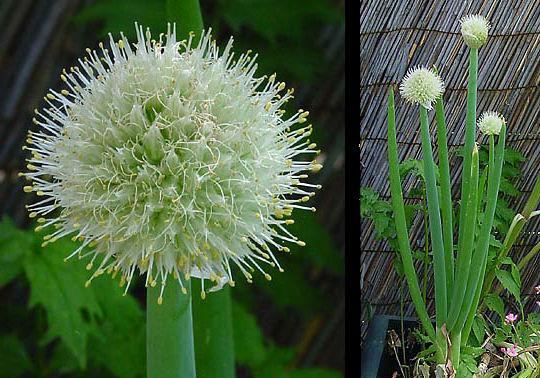 Allium Ascalonicum.jpg