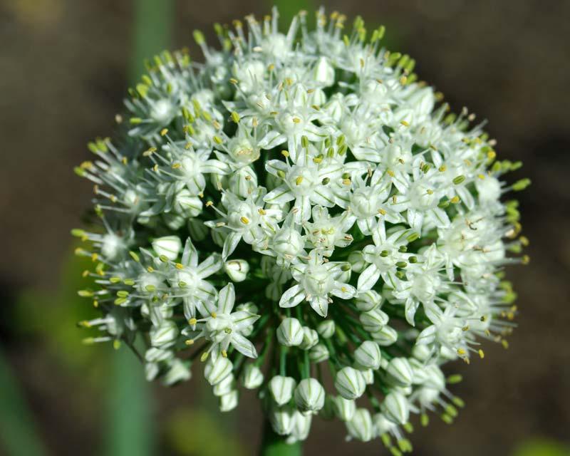 Allium_cepa.jpg