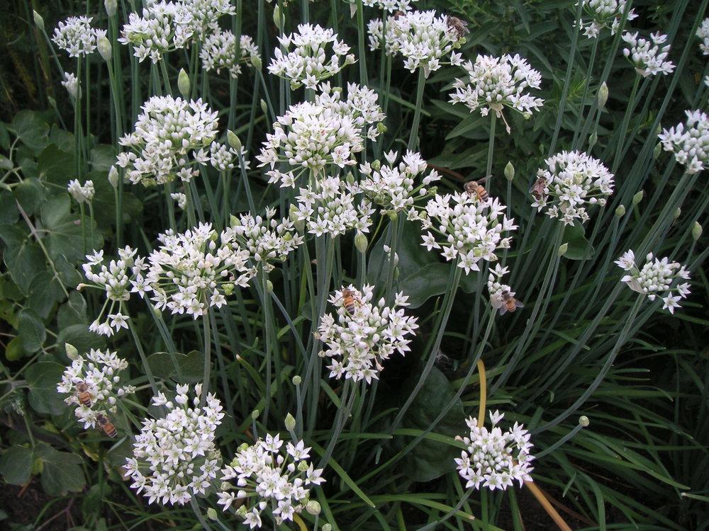 allium-sativum_bloem-garlic.jpg
