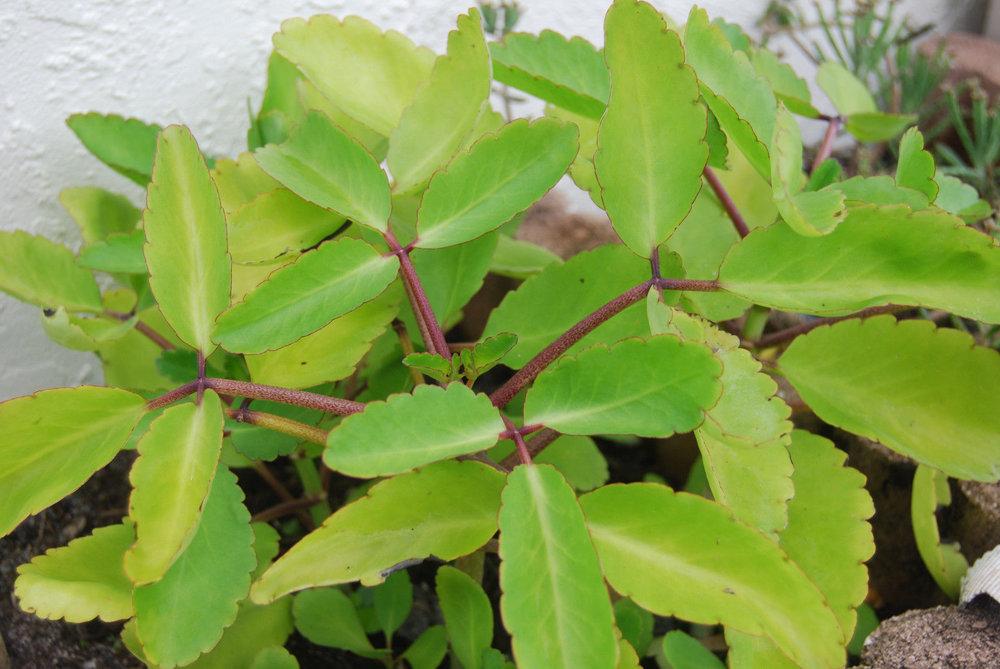Bryophyllum pinnatum.jpg