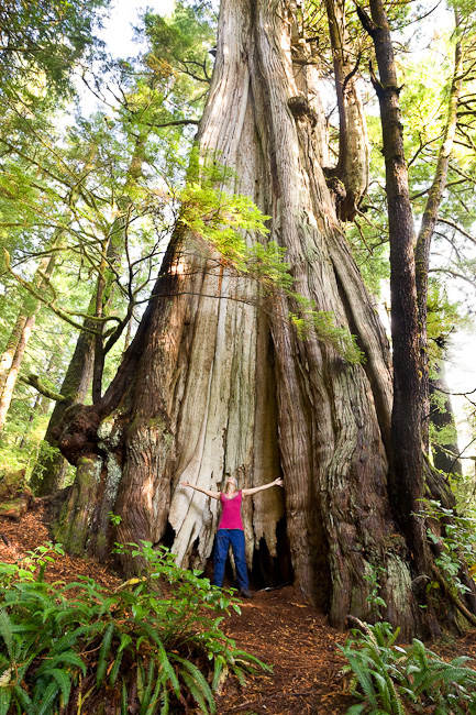 Cheewhat Cedar, Canada's largest tree, cheewhat cedar vancouver island, vancouver island big tree, biggest tree, BC big tree, biggest red cedar, old-growth forest, old-growth forest vancouver island, old-growth forest bc, Ancient Forest Alliance, Pacific Rim National Park Reserve, Carmanah provincial park, old-growth red cedar, cheewhat, hiking,