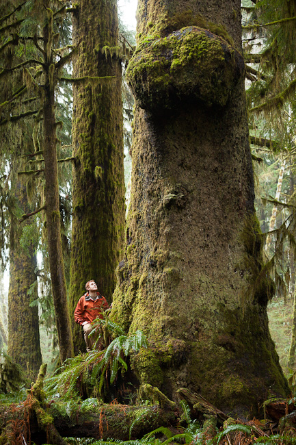 big tree, vancouver island, old-growth forest, nitinat lake, nitinat river, sitka spruce tree, giant spruce tree, nitinat lake forest, elk, hiking, bc, british columbia