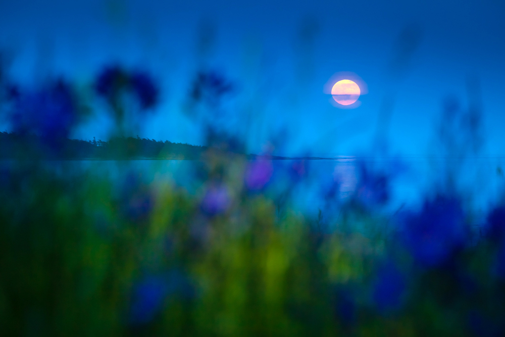 Full moon rising through camas flowers at Cattle Point in Victoria, BC.