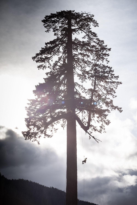 Big Lonely Doug & tree climber silhouette.