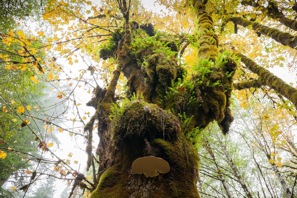 big-leaf-maple-with-conk-mushroom.jpg