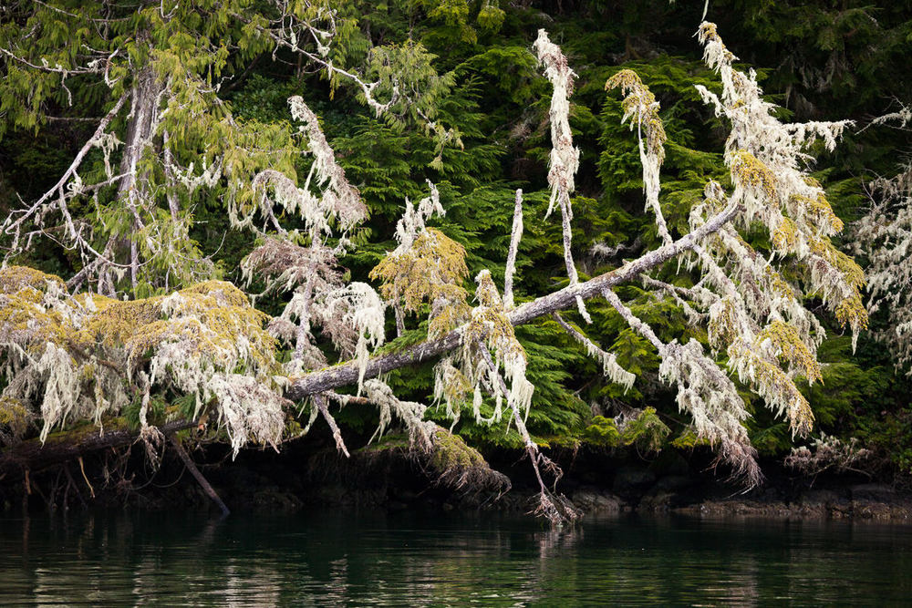 lichen-tree-tofino.jpg