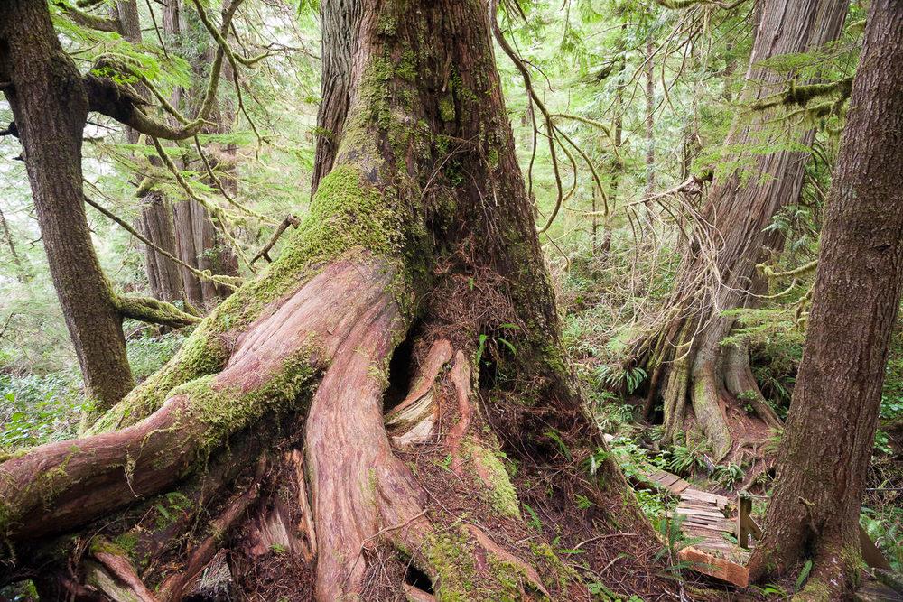 meares-island-big-tree-trail.jpg