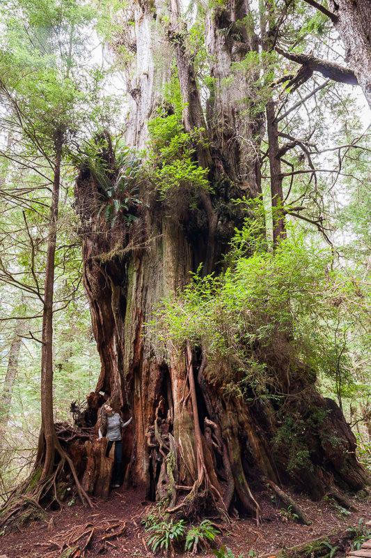 meares-island-hanging-garden-tree.jpg