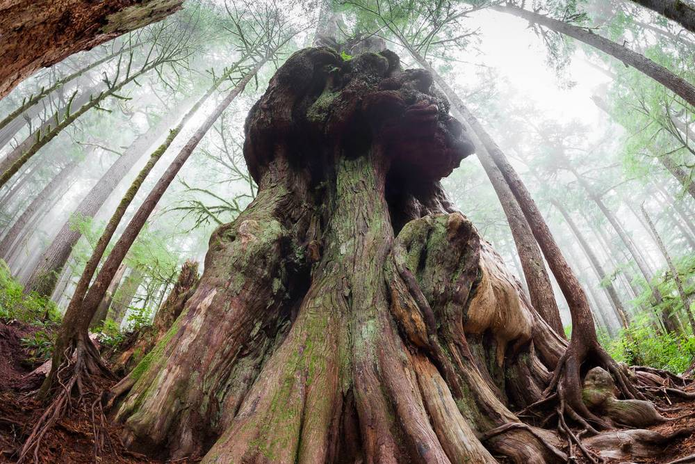 Canada's Gnarliest Tree - Avatar Grove, Port Renfrew, BC