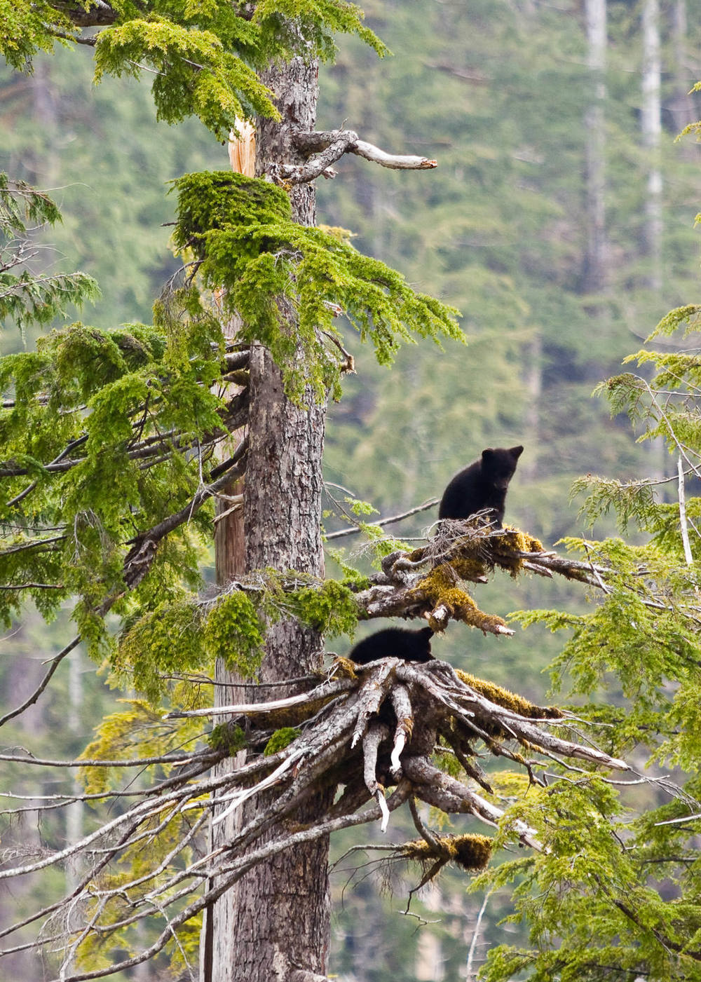walbran-valley-black-bear-cubs-tree.jpg
