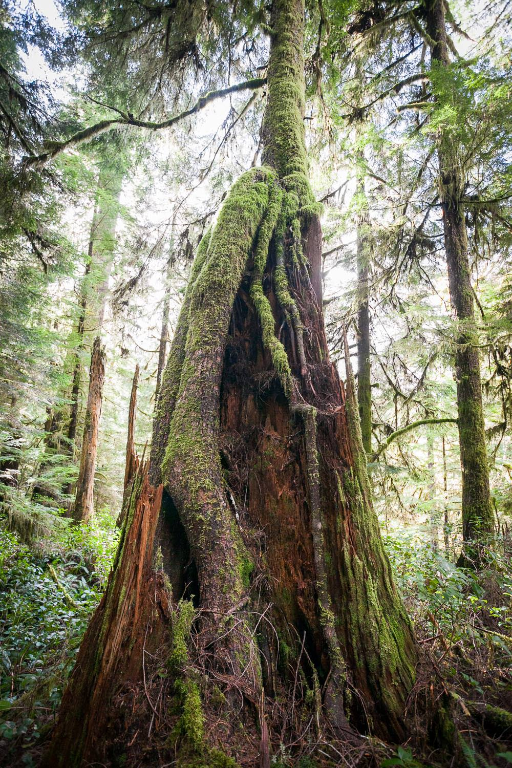 hemlock-growing-old-stump.jpg